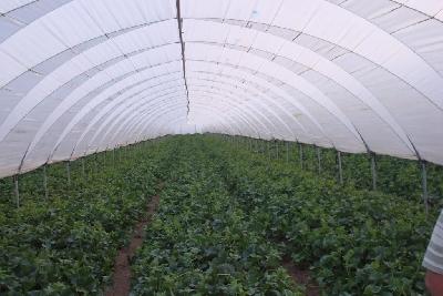rufepa light tunnel for melon