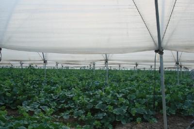 light tunnel for melon. Rufepa