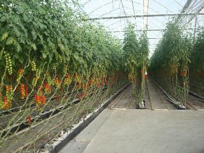 rufepa cultivo 3