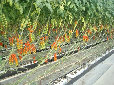rufepa cultivo 2